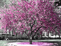 Cherry Blossoms. Bloom brightly during Spring in a park in New York City Stock Image