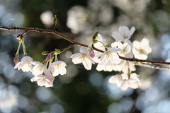 Cherry Blossoms photos stock