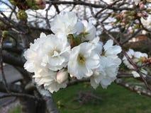 Cherry Blossoms fotos de stock royalty free