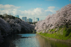 Cherry Blossoms Image stock
