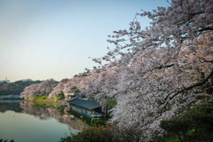 Cherry Blossoms Photographie stock libre de droits