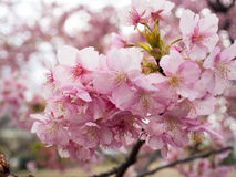 Cherry Blossoms Stockbilder