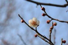 Cherry Blossoms Stock Afbeelding