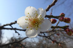 Cherry Blossoms Royalty-vrije Stock Fotografie