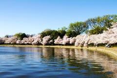 Cherry Blossoms photo libre de droits