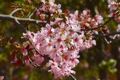 Cherry Blossoms 5 immagine stock