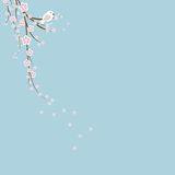 Cherry Blossoms. A finch/ bird sitting on a cherry blossom branch Background with copy-space Royalty Free Stock Image