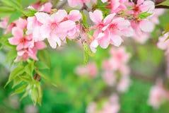 Cherry Blossoms Stockbilder