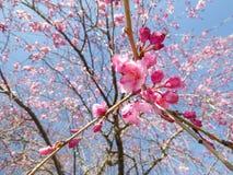 Cherry Blossoms Imagens de Stock