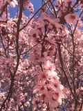 Cherry Blossoms Stockfoto