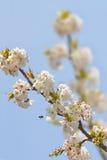 Cherry Blossoms Immagini Stock