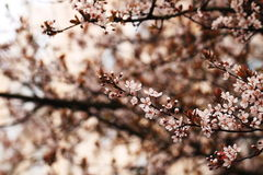 Cherry Blossoms Fotografia de Stock