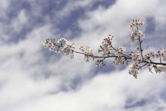 Cherry Blossoms Stock Afbeeldingen