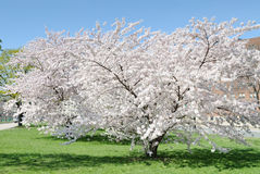 Cherry Blossoms. Beautiful Cherry Blossoms in April Royalty Free Stock Photography