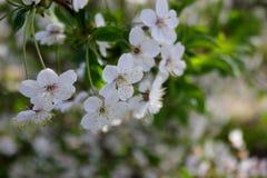 Cherry Blossoms Fotografie Stock Libere da Diritti
