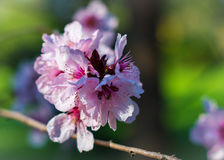 Cherry Blossoms Immagine Stock
