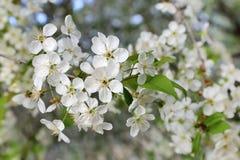 Cherry Blossoms Photos stock