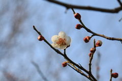 Cherry blossoms. According to the literature research, two thousand years ago in the Qin and Han Dynasties, cherry has been cultivated in the Chinese Palace Stock Image