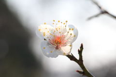 Cherry blossoms. According to the literature research, two thousand years ago in the Qin and Han Dynasties, cherry has been cultivated in the Chinese Palace Stock Images