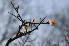 Cherry blossoms. According to the literature research, two thousand years ago in the Qin and Han Dynasties, cherry has been cultivated in the Chinese Palace Royalty Free Stock Photos