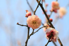 Cherry blossoms. According to the literature research, two thousand years ago in the Qin and Han Dynasties, cherry has been cultivated in the Chinese Palace Royalty Free Stock Photography
