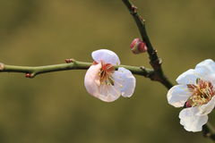 Cherry blossoms. According to the literature research, two thousand years ago in the Qin and Han Dynasties, cherry has been cultivated in the Chinese Palace Stock Photo