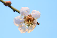 Cherry blossoms. According to the literature research, two thousand years ago in the Qin and Han Dynasties, cherry has been cultivated in the Chinese Palace Stock Photography