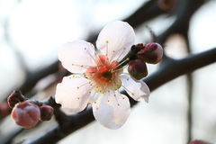 Cherry blossoms. According to the literature research, two thousand years ago in the Qin and Han Dynasties, cherry has been cultivated in the Chinese Palace Stock Photos