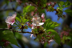 Cherry Blossoms. Afternoon sun, shining through Cherry blossoms along the Potomac River Stock Photos