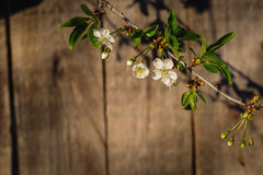 Cherry blossoms against a background of a wooden fence Royalty Free Stock Photography