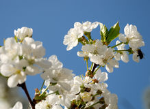 Cherry blossoms against blue sky Royalty Free Stock Photos