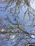 Cherry blossoms. Against blue sky Royalty Free Stock Image