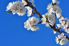 Cherry blossoms against the blue sky. stock photography