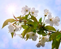 Cherry blossoms against the blue sky and shining sun. Stock Image