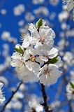 Cherry blossoms against the blue sky. stock image