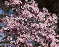Cherry blossoms against blue sky Stock Images