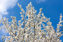 Cherry blossoms against a blue sky. Cherry white branches in blossoms royalty free stock images