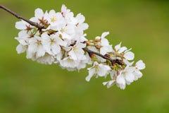 Cherry Blossoms Against een Zachte Groene Achtergrond Stock Afbeeldingen