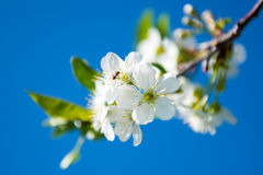 Cherry blossoms against the sky. Royalty Free Stock Image