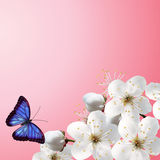 Cherry blossoms against the sky with clouds and swallow butterfly Royalty Free Stock Photography