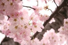 Cherry Blossoms All Around Royalty Free Stock Photos