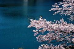 Cherry blossoms along the dam lake / Japanese spring. Cherry blossoms are beautiful flowers representing Japan. When spring comes, a lot of people from abroad Royalty Free Stock Image
