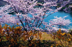 Cherry blossoms along the dam lake / Japanese spring Royalty Free Stock Photography