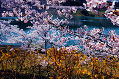 Cherry blossoms along the dam lake / Japanese spring. Cherry blossoms are beautiful flowers representing Japan. When spring comes, a lot of people from abroad royalty free stock images