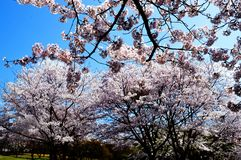 Cherry blossoms along the dam lake / Japanese spring Stock Photography
