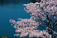 Cherry blossoms along the dam lake / Japanese spring. Cherry blossoms are beautiful flowers representing Japan. When spring comes, a lot of people from abroad Stock Images