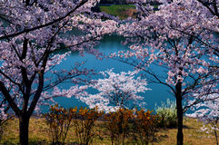 Cherry blossoms along the dam lake / Japanese spring. Cherry blossoms are beautiful flowers representing Japan. When spring comes, a lot of people from abroad royalty free stock photos