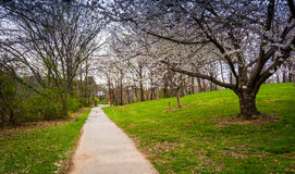 Cherry blossoms along a path at Wilde Lake Park in Columbia, Mar Stock Photography