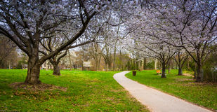 Cherry blossoms along a path at Wilde Lake Park in Columbia, Mar Stock Photo