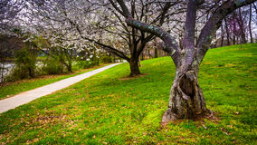 Cherry blossoms along a path at Wilde Lake Park in Columbia, Mar royalty free stock images